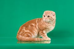 Ginger Scottish fold cat on green background.  Royalty Free Stock Image