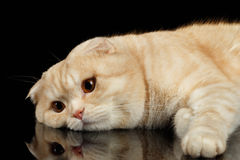 Ginger Scottish Fold Cat Lies isolated on Black Stock Photos