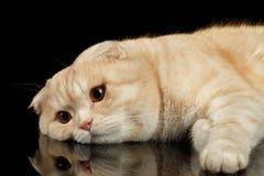 Ginger Scottish Fold Cat Lies isolerade på svart arkivfoton
