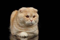Ginger Scottish Fold Cat Lies isolerade på svart royaltyfri bild