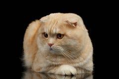 Ginger Scottish Fold Cat Lies isolerade på svart royaltyfri foto