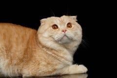 Ginger Scottish Fold Cat Lies isolerade på svart arkivbilder