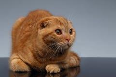 Ginger Scottish Fold Cat Lies på grå färger royaltyfri foto
