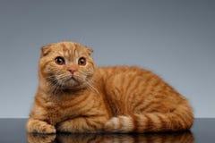 Ginger Scottish Fold Cat Lies på grå färger arkivfoto