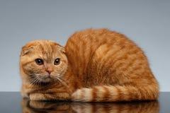 Ginger Scottish Fold Cat Lies på grå färger fotografering för bildbyråer