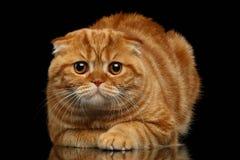 Ginger Scottish Fold Cat Lies på svart royaltyfri fotografi