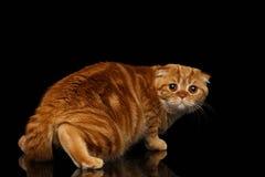 Ginger Scottish Fold Cat Looking asustado detrás aislado en negro Imagenes de archivo