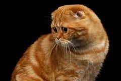 Ginger Scottish Fold Cat Looking dat terug op Zwarte wordt geïsoleerd stock afbeeldingen