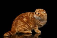 Ginger Scottish Fold Cat Looking dat terug op Zwarte wordt geïsoleerd royalty-vrije stock fotografie