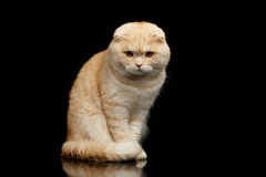 Ginger Scottish Fold Cat Sits and Looking in camera isolated on Black Royalty Free Stock Photos