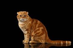 Ginger Scottish Fold Cat Sits y el parecer in camera aislado en negro fotos de archivo libres de regalías