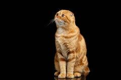 Ginger Scottish Fold Cat Sits y el parecer para arriba aislado en negro foto de archivo libre de regalías