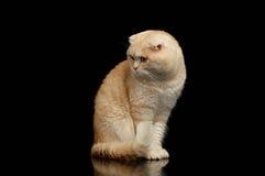 Ginger Scottish Fold Cat Sits y mirada de la izquierda aislada en negro fotos de archivo
