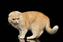 Ginger Scottish Fold Cat Walks isolated on Black Royalty Free Stock Photography