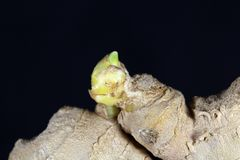Ginger Seedling arkivbilder