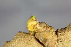 Ginger Seedling Royaltyfri Foto
