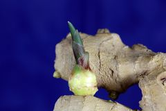 Ginger Seedling Stock Photography
