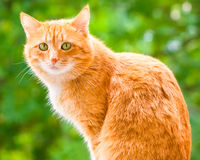 Ginger shorthair cat with sad green eyes. Sitting and looking at camera in sunny garden at summer day. Green summer blurred background with natural bokeh stock image