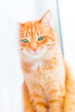 Ginger shorthair cat with sad green eyes sitting on window. Behind white curtain. Red cat with bright green eyes royalty free stock photos