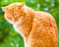 Ginger shorthair cat sitting and sleeping in sunny garden. At summer day. Green summer blurred background with natural bokeh stock photos