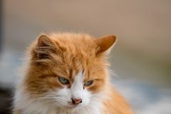 Portrait of shy red cat looking down stock photography
