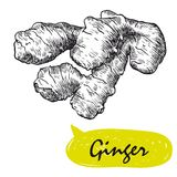 Ginger sketch. harvesting Royalty Free Stock Images