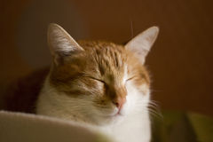Ginger sleepy cat, slumbering cat, cat face Stock Photography