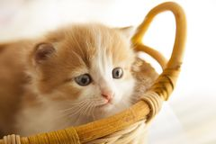 Ginger small kitten in a basket.  Stock Photos
