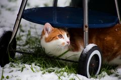 Ginger Snowbeast. Beautiful young ginger cat experiencing his first snow in the garden Royalty Free Stock Photo