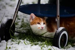 Ginger Snowbeast. Beautiful young ginger cat experiencing his first snow in the garden Stock Images