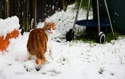 Ginger Snowbeast. Beautiful young ginger cat experiencing his first snow in the garden Stock Photo