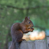 Ginger squirre. L gnaws cone sitting on the fence royalty free stock image