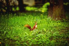 Ginger squirrel on green grass in spring park. Squirrel sitting on lawn, ?lose-up composition. royalty free stock photo