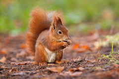Ginger squirrel with nut in Mlada Boleslav Royalty Free Stock Image