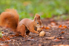 Ginger squirrel with nuts Stock Photo