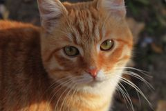 Ginger stray cat looking into the camera stock image