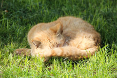 A ginger stray cat sleep in public park.  Stock Images