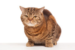 Ginger striped cat sitting over background Stock Photos