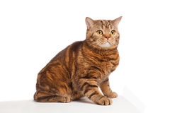 Ginger striped cat sitting over background Royalty Free Stock Photo