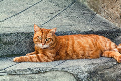 Ginger striped cat sitting on a pavement in Entrevaux, France. Royalty Free Stock Photography