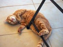 Ginger Tabby Ally Cat molto grasso e felice fotografia stock libera da diritti