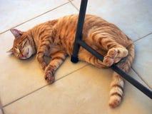 Ginger Tabby Ally Cat molto grasso e felice fotografia stock