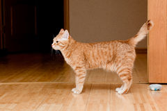 Ginger tabby cat Stock Photos
