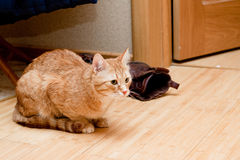 Ginger tabby cat Royalty Free Stock Images