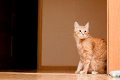 Ginger tabby cat Royalty Free Stock Photo