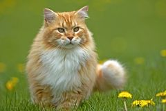 Ginger tabby Cat. Beautiful ginger tabby Cat, male standing in grass by yellow flowers, watching royalty free stock photos