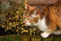 Ginger tabby cat camouflaged by plants royalty free stock photo