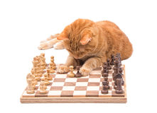 Ginger tabby cat carefully moving chess pieces Stock Image