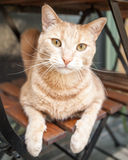 Ginger Tabby Cat on Chair under Table Looking at Camera Royalty Free Stock Photos