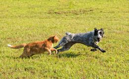 Ginger tabby cat chasing a young dog in high speed. With green grass background Royalty Free Stock Photo
